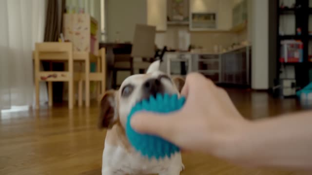 active small dog Jack Russell terrier playing with blue ball toy wrests from the hands of the owner. - video
