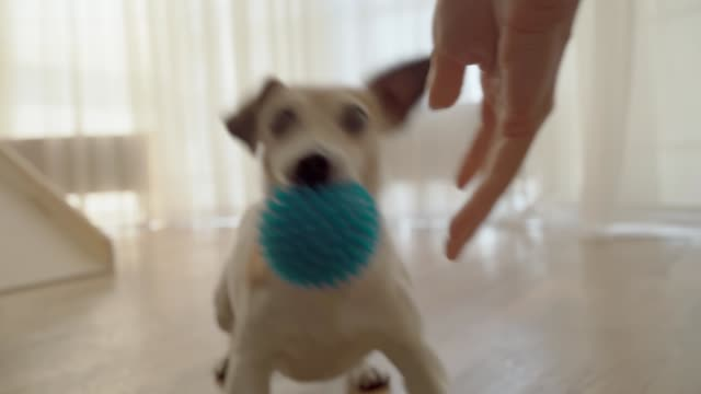 active small dog Jack Russell terrier playing with blue ball toy - video