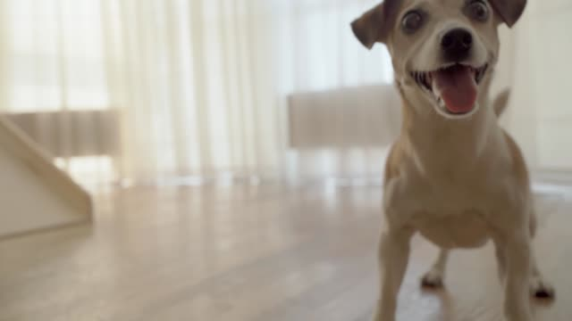 Active smiling dog excitedly awaiting for a toy ball. Pet playing time indoors. - video