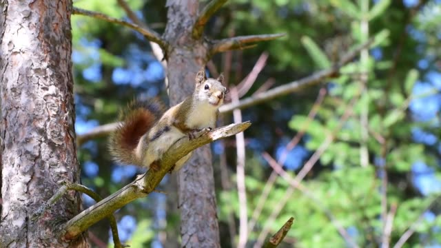 Active Squirrel on Tree Branch A female red squirrel soon stomps her hind legs. Then grooms her tail and wipes her mouth against the branch she's perched on. Filmed in Ontario, Canada. north america stock videos & royalty-free footage