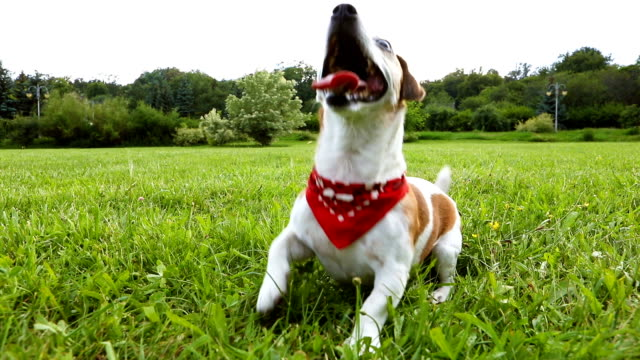 Active stylish crazy dog in red Kerchief playing on the grass. Very quick running and dancing. Video footage. - video