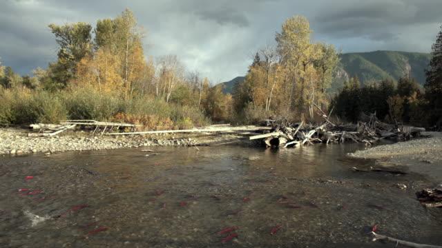 Adams River, Spawning Sockeye Salmon 4K UHD video