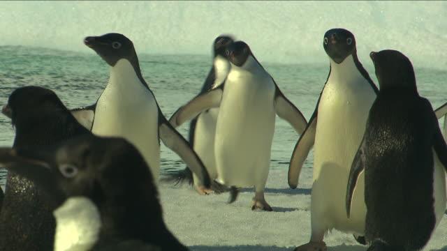 pingwiny adelie na antarktydzie - pingwin filmów i materiałów b-roll