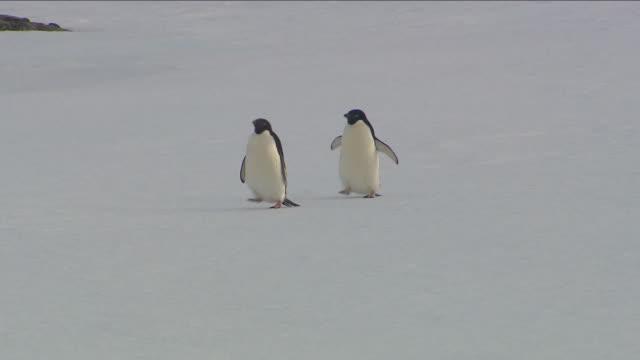 adelie penguins in antarctica - pingwin filmów i materiałów b-roll