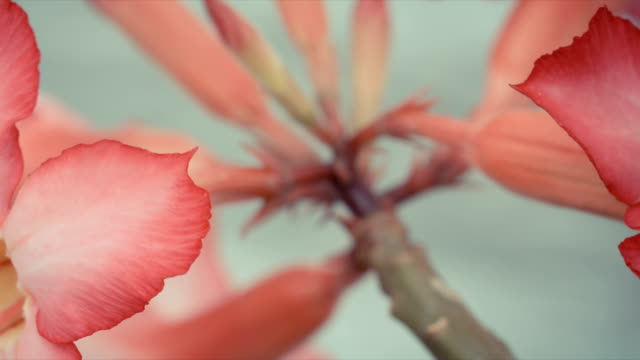 Adenium flower known as Desert Rose, Adenium multiflorum. video