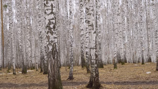 Admirable birch grove by diffused daylight in spring time