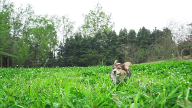 Adorable and vivid puppy jump all around on lawn