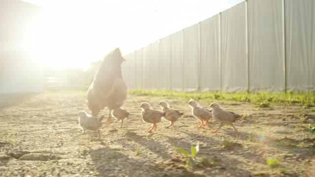 母の手順の裏庭にクローズ アップのかわいい赤ちゃん鶏 - 家畜点の映像素材/bロール