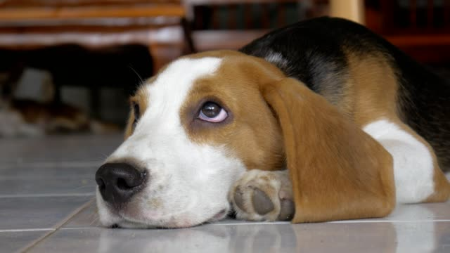 Adorable Beagle Lying On Floor In House video