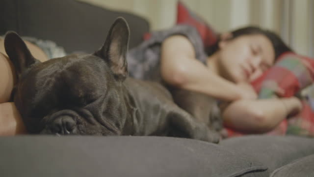 Adorable Black french bulldog enjoys sleep with Asian woman on the sofa. Concept: Pet, funny, life