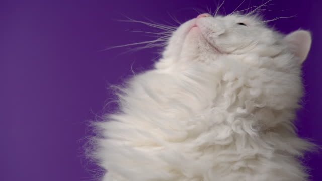 愛らしいかわいい国内のペット。ふわふわの白猫は、スタジオで紫色の背景に隔離されています。動物、自然、子猫の概念。 - 動物の身体各部点の映像素材/bロール