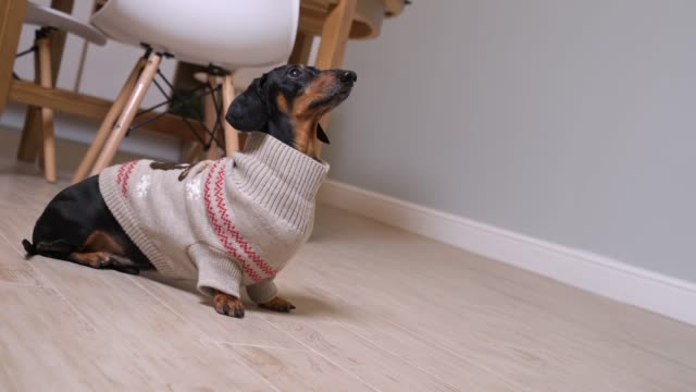 Adorable dachshund dog in cozy warm knitted Christmas sweater sits on floor, looks up and barks, Dutch angle used to portray psychological uneasiness or tension in subject being filmed.