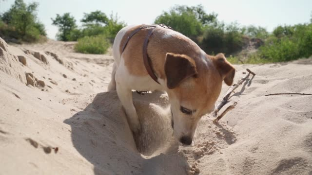 Adorable digging sand funny busy  dog Jack Russell terrier. - video