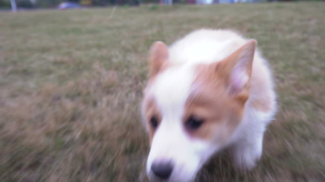 Adorable fat little corgi run to chase shot on lawn