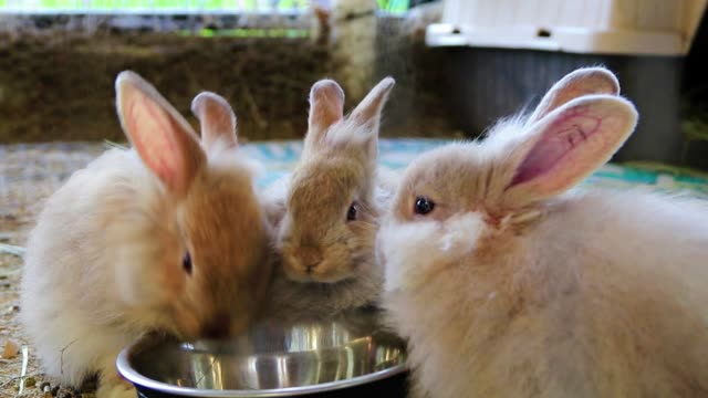 Adorable fluffy bunny rabbits eating out of same silver bowl at the country fair
