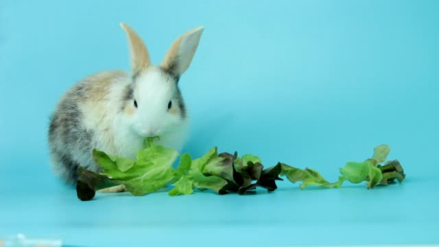 A adorable fluffy rabbits eating delicious green oak leaf lettuce on blue background, feeding bunny vegetarian pet animal with vegetable A adorable fluffy rabbits eating delicious green oak leaf lettuce on blue background, feeding bunny vegetarian pet animal with vegetable lettuce stock videos & royalty-free footage