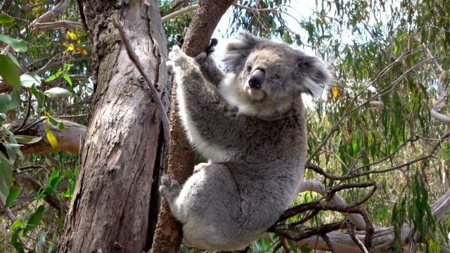 CLOSE UP: Adorable fluffy sleepy koala hanging on eucalyptus branch CLOSE UP: Cute fluffy adult koala hanging on a branch in the shade of an old eucalyptus tree. Adorable koala sitting on a small eucalyptus branch and observing with interest her surroundings hanging stock videos & royalty-free footage