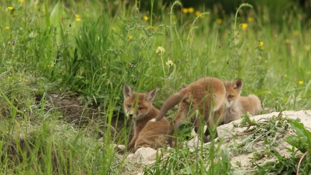 Adorable Fox Cubs Playing In Front Of The Den video