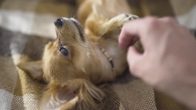 adorable funny dog chihuaha sleeps on plaid, a person's hand strokes a sleepy pet adorable funny dog chihuaha sleeps on plaid, a person's hand strokes a sleepy pet in Home animal whisker stock videos & royalty-free footage