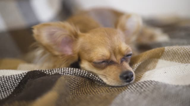 adorable funny dog chihuaha sleeps on plaid adorable funny dog chihuaha sleeps on plaid at home animal whisker stock videos & royalty-free footage