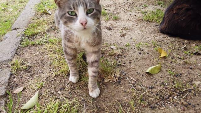 사랑스러운 녹색 눈 회색과 흰색 길 잃은 고양이가 걷고 있었다 - 풀 벼과 스톡 비디오 및 b-롤 화면