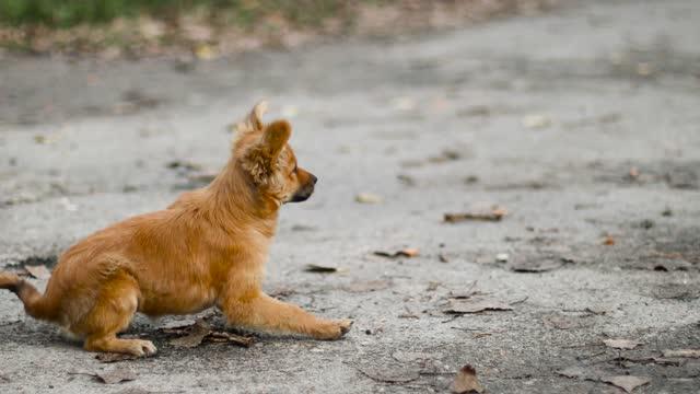vídeos de stock, filmes e b-roll de adorável cachorrinho de gengibre feliz olha atentamente para o lado e balança sua cauda na rua - cauda