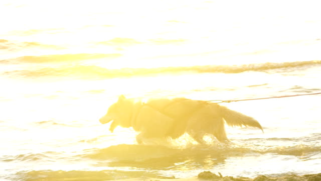 adorable husky at beach on a sunny day - malamute video stock e b–roll