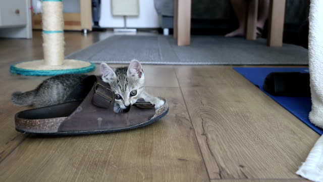 Adorable kitten playing with toys, jumps around slippers