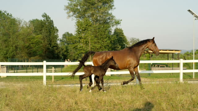 slow motion: adorable mare and newborn colt running along white corral - cavalla video stock e b–roll