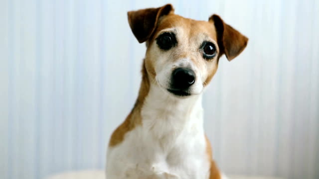 Adorable pet Jack Russell terrier look head portrait. video