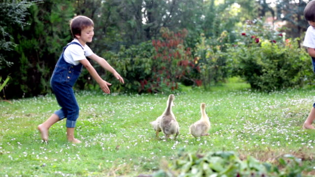 Adorable preschool children, boy brothers, playing with little ducklings in a garden video
