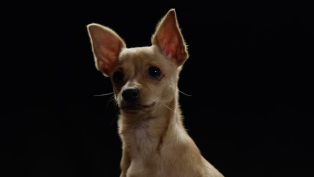adorable puppy on black background chihuahua - perfezione video stock e b–roll
