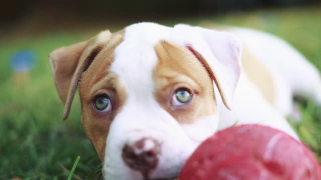 Adorable Puppy with green eyes laying down on grass and playing with a ball video