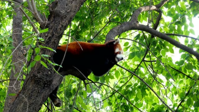 Adorable Red Panda Perched On Tree Branch video