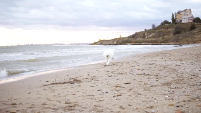 Adorable samoyed dog running on sand toward camera point of view. Slowmotion shot video