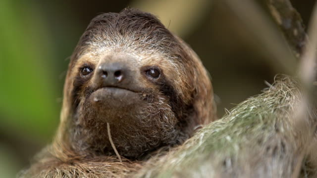 CU Adorable sloth on a tree