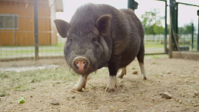CLOSE UP: Adorable small and fat black piggy chewing food on big animal ranch video