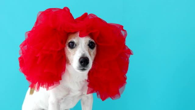 kırmızı peruk sevimli küçük köpek - peruk stok videoları ve detay görüntü çekimi