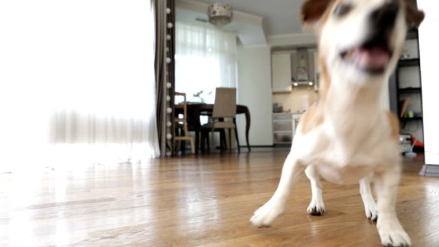 Adorable small dog Jack Russell terrier dancing jumping want to play. excited impatience. Active crazy friend pet running for the red ball. Video footage. Playing inside - video