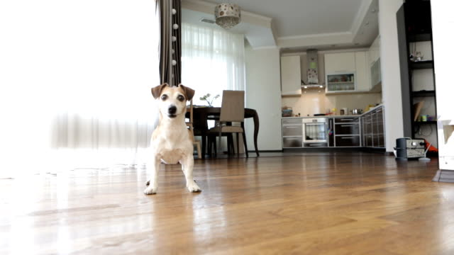 Adorable small dog Jack Russell terrier dancing jumping want to play. excited impatience. Active crazy friend pet running for the red ball. Video footage. Playing inside