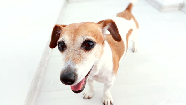 Adorable small dog Jack Russell terrier looking to the camera, Adorable small dog Jack Russell terrier looking to the camera, wagging (shaking) tail and exciting smiling. Happy pet video footage jack russell terrier stock videos & royalty-free footage