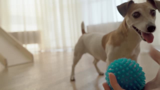 Adorable small dog playing with blue ball indoors. - video