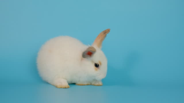 Adorable white bunny rabbit look alert and go around on blue screen background