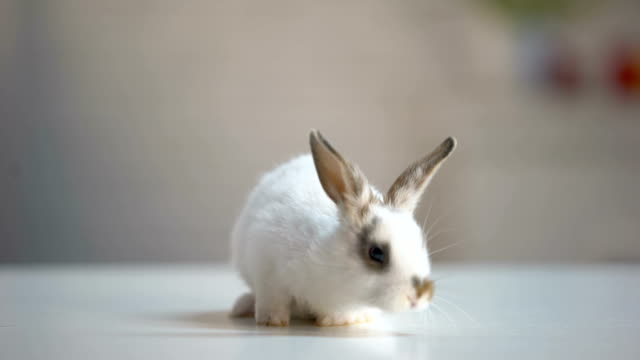 Adorable white bunny sitting vet clinic table, pet store, animal care