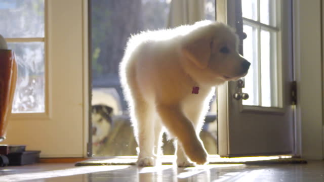 Adorable White haired puppy comes to camera video