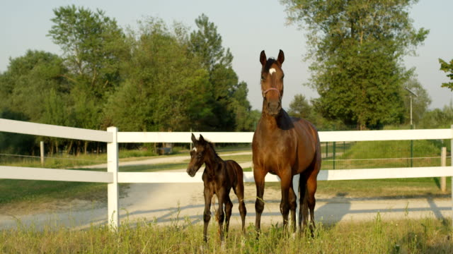 slow motion: adorable young foal and strong mare standing by sandy footpath - cavalla video stock e b–roll