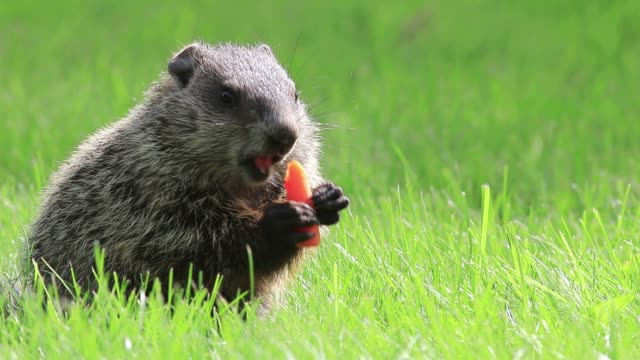 Adorable young Groundhog in green grass on a spring morning eating a carrot Adorable young Groundhog (Marmota Monax) in the green grass on a spring morning, Groundhog Day, Spring, Small Animals groundhog day stock videos & royalty-free footage