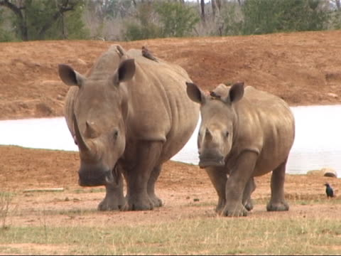 Adult and young White Rhino pair in Africa. video