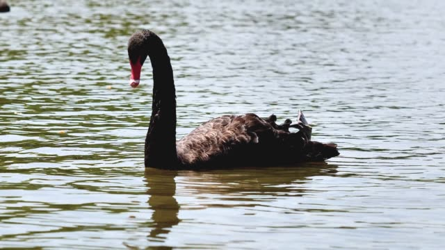 Adult black swan swimming in the lake with one foot sticking out, elegant swan with peaceful water background, 4k footage, slow motion.