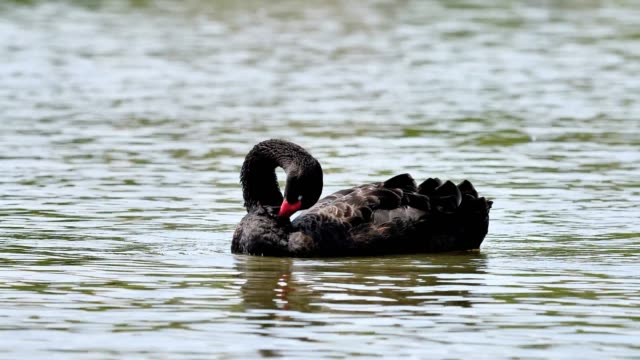 Adult black swans in the lake, cute fluffy swan shaking head and cleaning itself by its beak, 4k footage, slow motion.